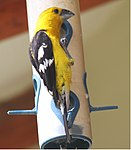 Golden Grosbeak 2.jpg