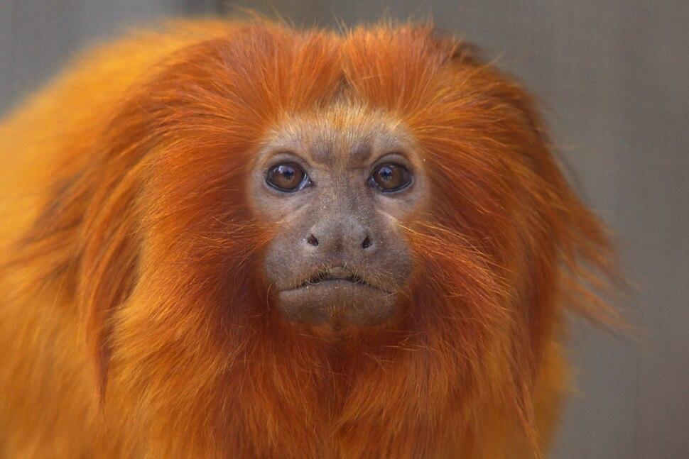Golden Lion Tamarin Leontopithecus rosalia