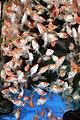 Goldfish Overload - Flickr - laszlo-photo.jpg