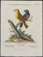 Goniophea torrida - 1700-1880 - Print - Iconographia Zoologica - Special Collections University of Amsterdam - UBA01 IZ16000145.tif