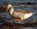 Goose (6138441495).jpg