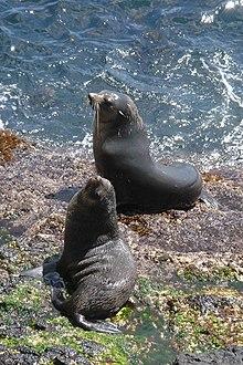 Arctocephalus tropicalis. L'isola Gough e l'Inaccessibile furono dichiarate Patrimonio dell'Umanità per l'UNESCO in 1995.