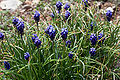 Grape Hyacinth Rutherford County.jpg