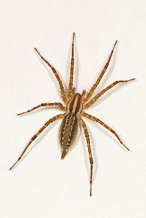 Grass Spider - Agelenopsis species possibly pennsylvanica?, Vernon, British Columbia.jpg