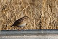 Grasshopper Sparrow (fall plumage) Curly Horse Ranch Rd Sonoita AZ 2017-12-16 09-28-25-2 (38237046505).jpg
