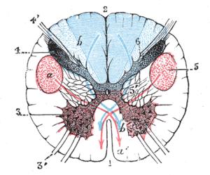 Posterolateral sulcus of medulla oblongata - Image: Gray 687