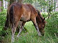 Grazing foal, Frame Heath Inclosure, New Forest - geograph.org.uk - 510032.jpg