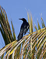 Great-tailed Grackle 2 (4356391472).jpg