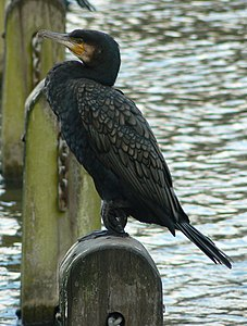 Great Cormorant (Phalacrocorax carbo) -park in London.jpg