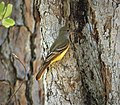 Great Crested Flycatcher Myiarchus crinitus (26971991609).jpg
