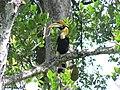 Great Hornbill on Jack tree.jpg
