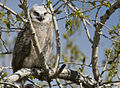 Great Horned Owl (4819455826).jpg