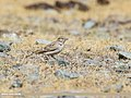 Greater Short-toed Lark (Calandrella brachydactyla) (31969438857).jpg