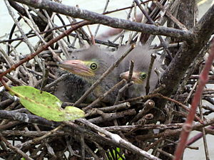 Green heron - Image: Green Heron nestlings