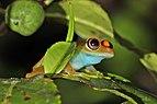 Green bright-eyed frog (Boophis viridis) Andasibe.jpg