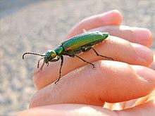 Blister beetle - Wikipedia