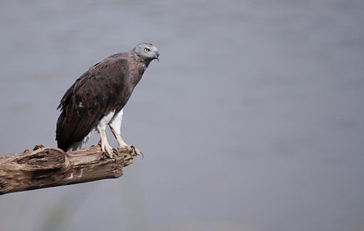 Grey Headed Fish Eagle - Ichthyophaga ichthyaetus