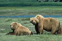 Two grizzly bears in a meadow in the Yellowsto...