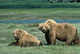 Grizzlyberen in Yellowstone Park