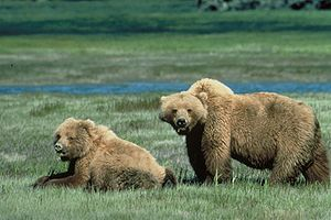 English: Two grizzly bears in a meadow in the ...