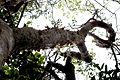 Gumbo limbo tree, NPSPhoto, R. Cammauf (9101023979).jpg