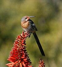 Gurney's Sugarbird (Promerops gurneyi).jpg