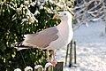 Gwylan y Penwaig - Herring Gull - geograph.org.uk - 761479.jpg