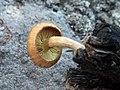 Gymnopilus igniculus Deneyer, P.-A. Moreau & Wuilb 490723.jpg