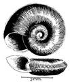 Gyraulus costulatus shell.png