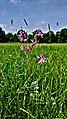 Hässeler Weiher von Neuenhaßlau - Blume auf der Wiese.jpg