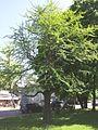 Hõlmikpuu 1.jpg