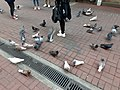 HK 中環 Central 德輔道中 39 Des Voeux Road Central 德忌利士街 Douglas Street freedom pigeons December 2019 SS2 05.jpg