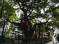 HK Sheung Wan 太平山街 Tai Ping Shan Street Banyan tree 卜公花園 Blake Garden Aug-2015 DSC Kui In Fong.JPG
