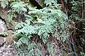 Habitat of Histiopteris incisa Yunomine Hot spring district D.jpg