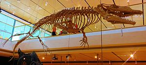 Halisaurus - Skeleton of H. arambourgi
