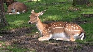 File:Haltern - Naturwildpark Granat - Dama dama dama 11 (1) ies.webm