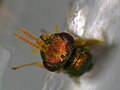 Halticoptera laevigata (36408312261).jpg