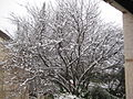 Har Adar Judas Tree under snow.jpg
