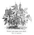 Haricot nain jaune extra-hâtif Vilmorin-Andrieux 1904.png