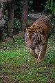 Harimau Sumatera di Ragunan.jpg