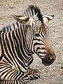 Hartmanns Mountain Zebra 010.jpg