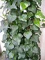 Hedera canariensis2.jpg