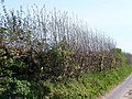 Hedge Regrowth by Colemore - geograph.org.uk - 408138.jpg