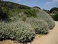 Helichrysum petiolare 2 (Corse).JPG