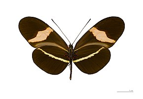 Description de l'image  File:Heliconius erato petiveranus MHNT ventre.jpg.