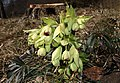 Helleborus-foetidus-stinkende-nieswurz.jpg
