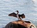 Hello Porto, duck (31096584347).jpg