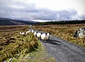 Herding sheep by bike - panoramio.jpg