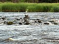 Heron, River Forth - geograph.org.uk - 192273.jpg