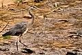 Heron - Zion National Park (15122467820).jpg